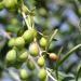 El proyecto Oliven investiga cómo lograr la eficiencia energética en la producción del aceite de oliva virgen
