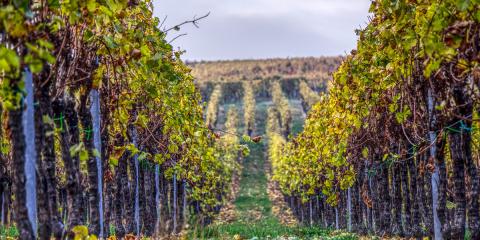 Los restos de poda de los viñedos de Castilla-La Mancha se transforman en electricidad